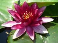 Aotearoa lotus
